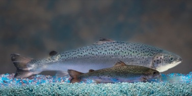 GM Salmon Gets Go Ahead For Human Consumption