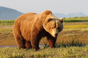 1_4587_14685_Oso_Grizzly_foto