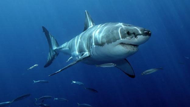 Gran-tiburón-blanco