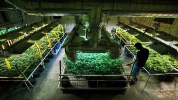 mariguana-cultivo-colorado
