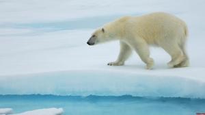 oso-polar-nieve
