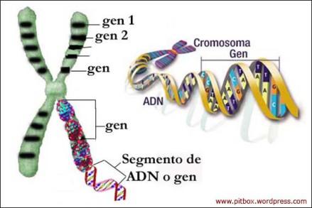 cromosoma-gen-adn-composicion-pitbox-blog