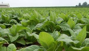 Cultivar-la-planta-del-tabaco