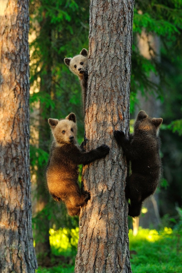 The picture is captured using special hide placed to the primeval forest in Finland. High trees offer protection to the brown bear cubs being vitally important to survive from all dangers around them. Bear cubs are threatened especially by the other male bears, who might attack and take their lives without any doubt. Thus fast climbing on tree is one of the most important skills for bear cubs in order to survive and they are always ready for it.
