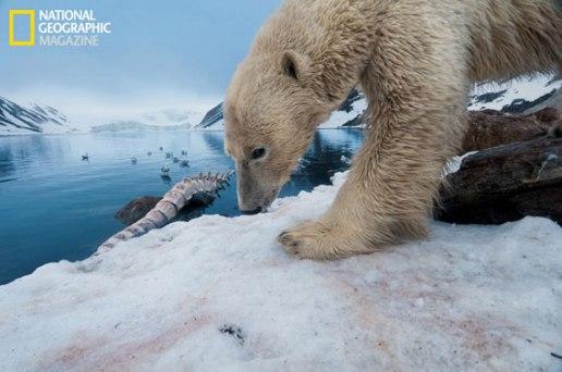polar_bears_03.ngm.568