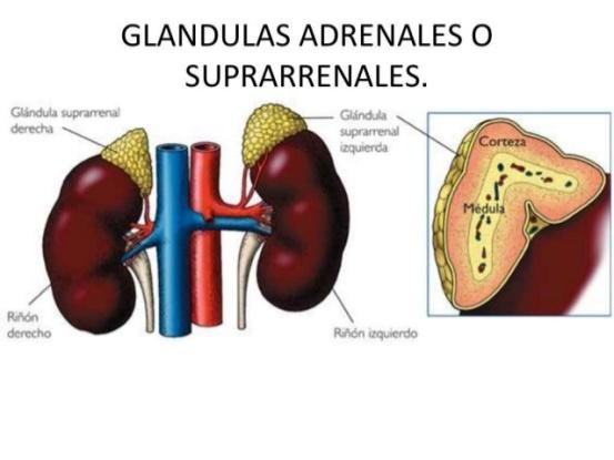 histologia-de-las-glandulas-suprarrenales-6-638