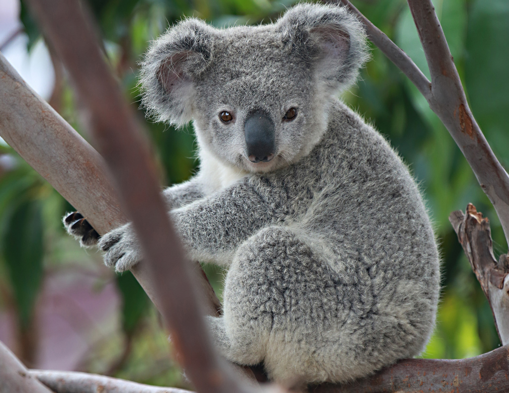 Resultado de imagen para koala