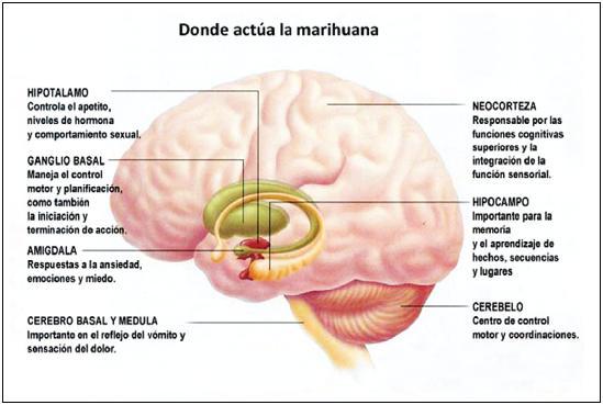 como-actua-la-marihuana