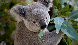 koala_ecalypt