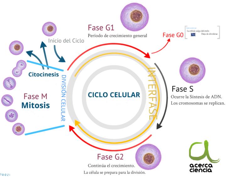 ciclo-celular.png